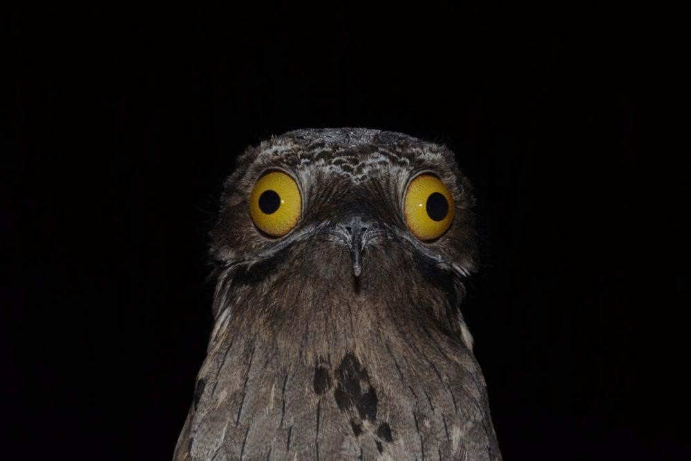 Picture: Potoo Bird has large round eyes