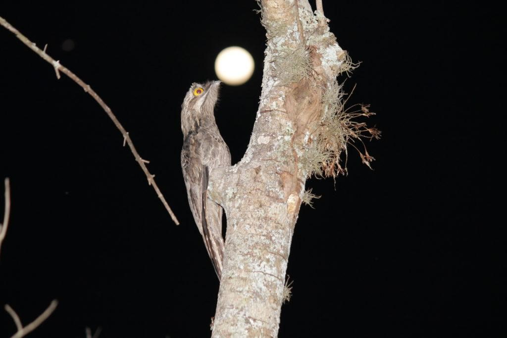Picture: Potoo bird is best in camouflage